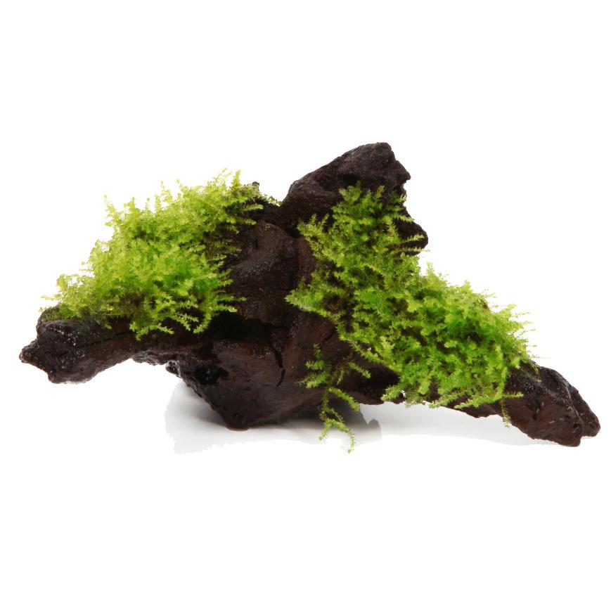 Vesicularia dubyana (Christmas moss) - TROPICA (na korzeniu)