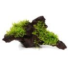 Vesicularia dubyana (Christmas moss) - TROPICA in-vitro (na korzeniu)