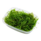 Vesicularia ferriei - Weeping moss - TROPICA - pojemnik 150ml