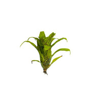 Vriesea Fenestralis mini - ro?lina do akwapaludarium