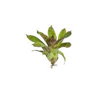 Vriesea Gigantea Nova mini - roślina do akwapaludarium