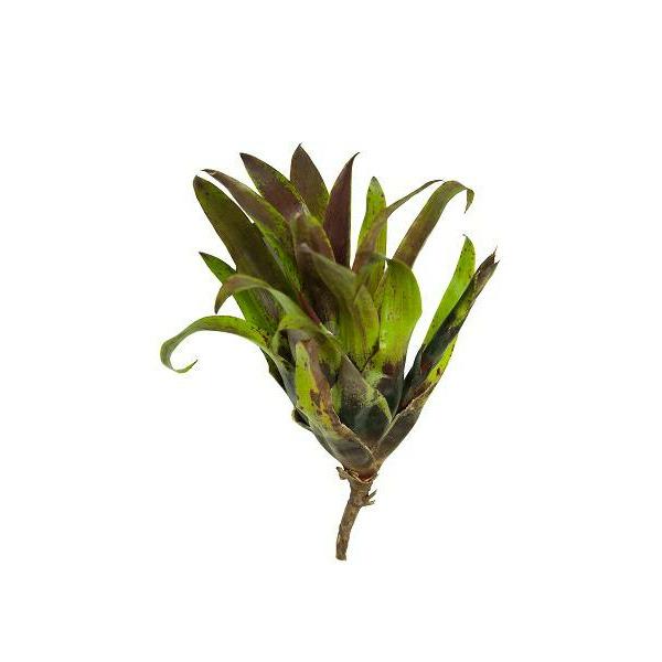 Vriesea Lubbersii - roślina do akwapaludarium