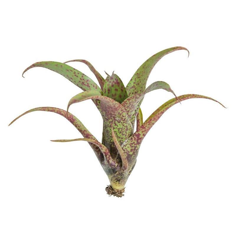 Vriesea saundersi mini - roślina do akwapaludarium