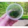 Wątrobowiec Mini Pelia (Riccardia graeffei) - opakowanie 3x3cm WK - RARYTAS!!!!