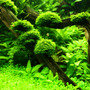 Wątrobowiec Mini Pelia (Riccardia graeffei) - opakowanie - RARYTAS!!!!!