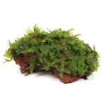 Wątrobowiec Monosolenium tenerum (Pelia) - TROPICA (na lawie)