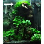 Wątrobowiec Monosolenium tenerum Tropica (Pelia) - pojemnik