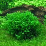 Wątrobowiec Pelia (Monosolenium tenerum)