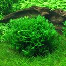 Wątrobowiec Pelia (Monosolenium tenerum) - opakowanie 10cm XXL