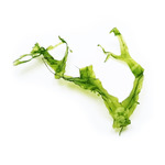 Wątrobowiec Pelia (Monosolenium tenerum) - sadzonka