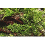 Wątrobowiec Riccardia chamedryfolia (Mini Pelia) - na kratce