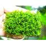 Wątrobowiec Riccardia chamedryfolia (Mini Pelia) - porcja