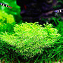 Wątrobowiec Wgłębka (Riccia fluitans)