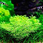 Wątrobowiec Wgłębka (Riccia fluitans) - opakowanie 10cm XXL