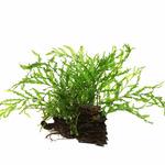 Zestaw dekoracyjny: Bolbitis heudelotii - TROPICA (na korzeniu)