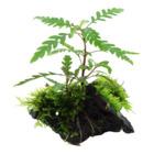 Zestaw dekoracyjny: Hygrophila pinnatifida z mchami - TROPICA (na korzeniu)