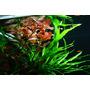 Zestaw dekoracyjny: Microsorum pteropus Narrow - TROPICA (na korzeniu)