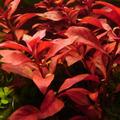 Zestaw roślin czerwonych