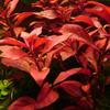 Zestaw roślin czerwonych (średni)