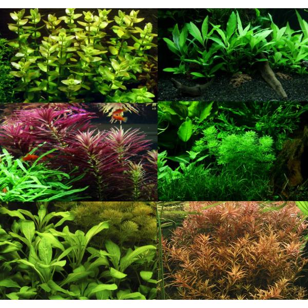 Zestaw roślin łodygowych Tropica (6 gatunków)